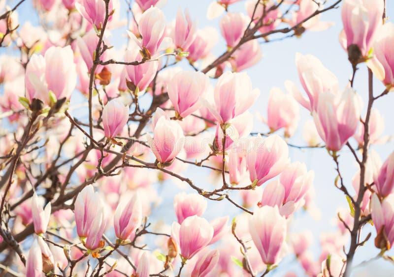 Piękny światło - różowa magnolia kwitnie w pogodnym ranku Płytki DOF obraz tonujący zdjęcia stock