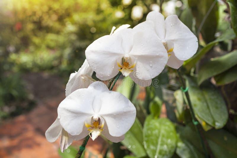 Piękny świeży biały storczykowy kwiat w tropikalnym ogródzie obraz stock