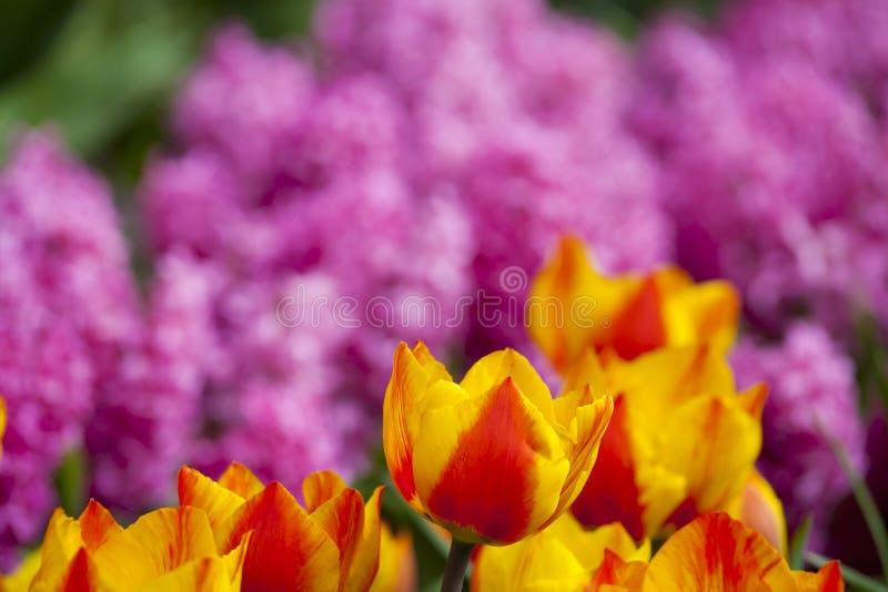 Download Piękny świeży I żywy Kolor żółty Czerwoni Tulipany Zdjęcie Stock - Obraz złożonej z oranżeria, dużo: 53789108