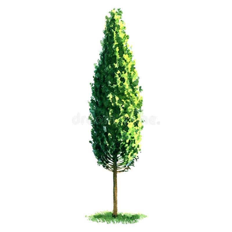 Piękny świeży zielony topolowy drzewo odizolowywający na białym tle ilustracja wektor