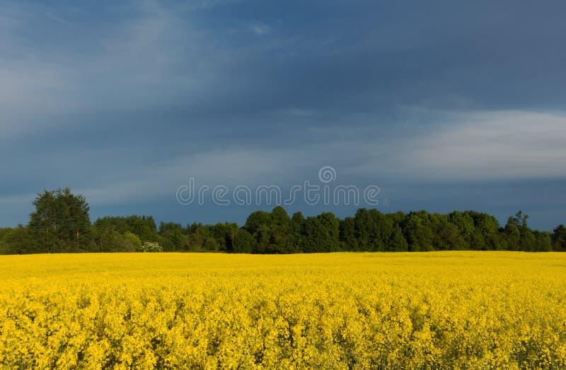Piękny żółty canola pole przy chmurzącym dniem zdjęcia royalty free