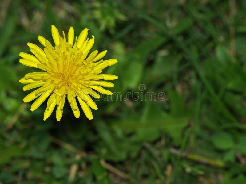 Piękny żółty dasiy kwiat zdjęcie royalty free