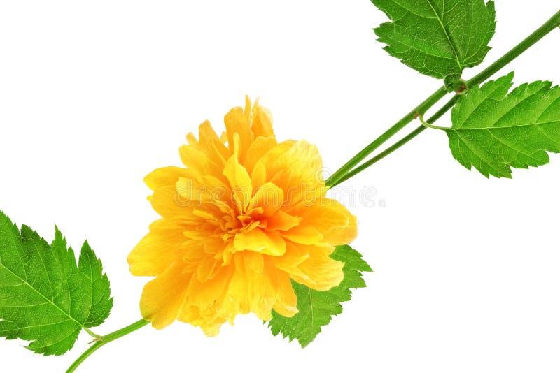 Piękny żółty dziki wzrastał. Closeup.Isolated. obraz royalty free