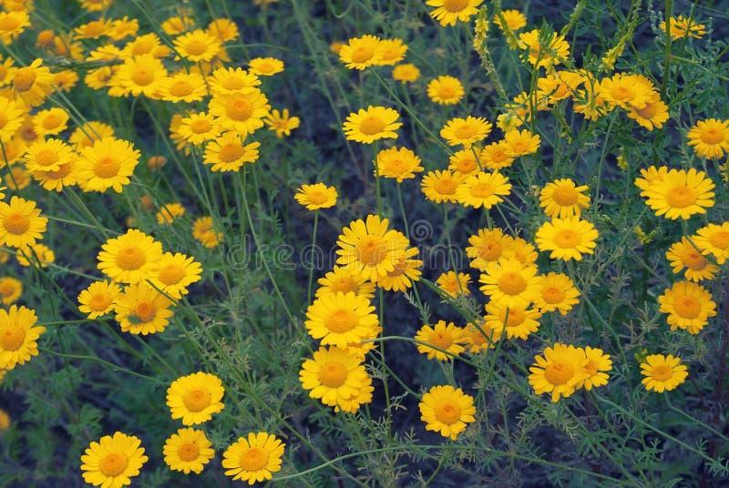 Piękny żółty dzikiego kwiatu stokrotki chamomile zakończenie na haliźnie w polach obrazy stock