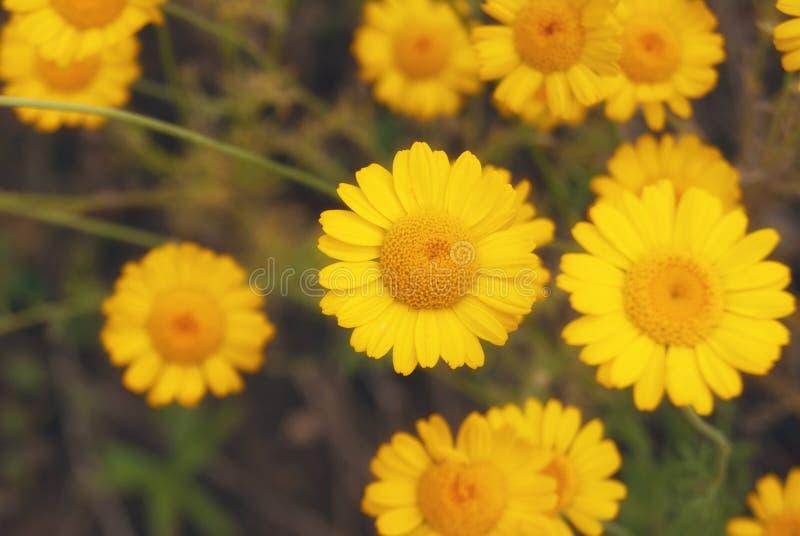 Piękny żółty dzikiego kwiatu stokrotki chamomile zakończenie na haliźnie w polach zdjęcia royalty free