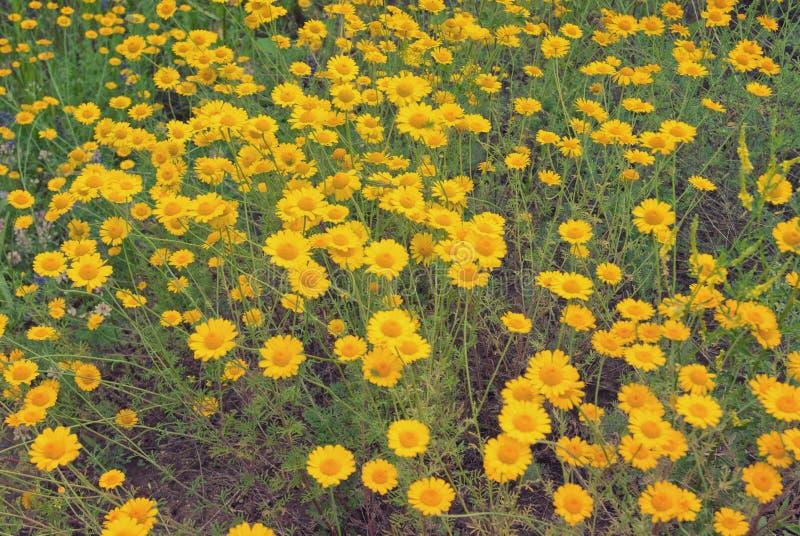 Piękny żółty dzikiego kwiatu stokrotki chamomile zakończenie na haliźnie w polach zdjęcie stock