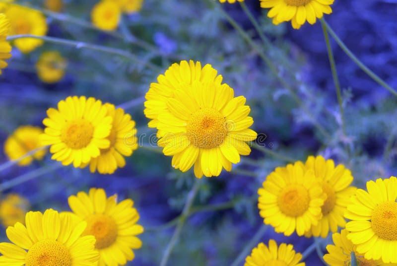 Piękny żółty dzikiego kwiatu stokrotki chamomile zakończenie na haliźnie w polach obraz stock
