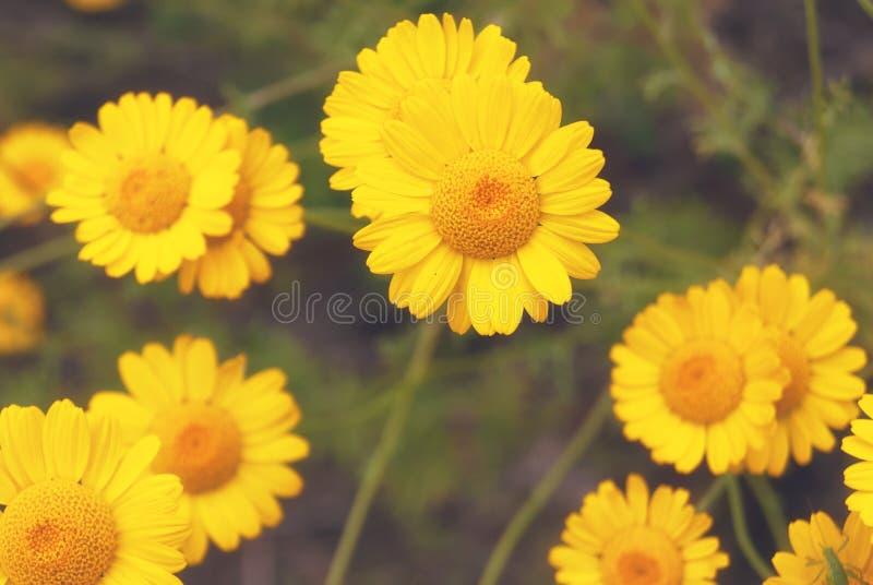 Piękny żółty dzikiego kwiatu stokrotki chamomile zakończenie na haliźnie w polach obraz royalty free