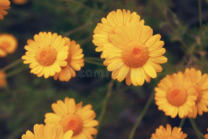 Piękny żółty dzikiego kwiatu stokrotki chamomile zakończenie na haliźnie w polach obrazy royalty free