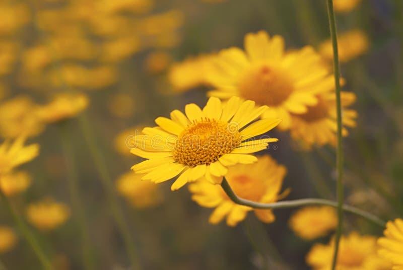 Piękny żółty dzikiego kwiatu stokrotki zakończenie na haliźnie zdjęcia royalty free