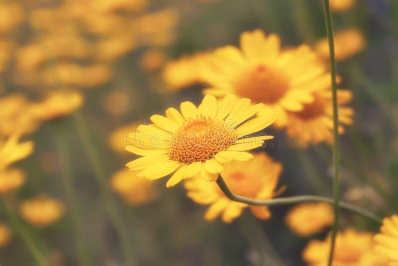 Piękny żółty dzikiego kwiatu stokrotki zakończenie na haliźnie obraz stock