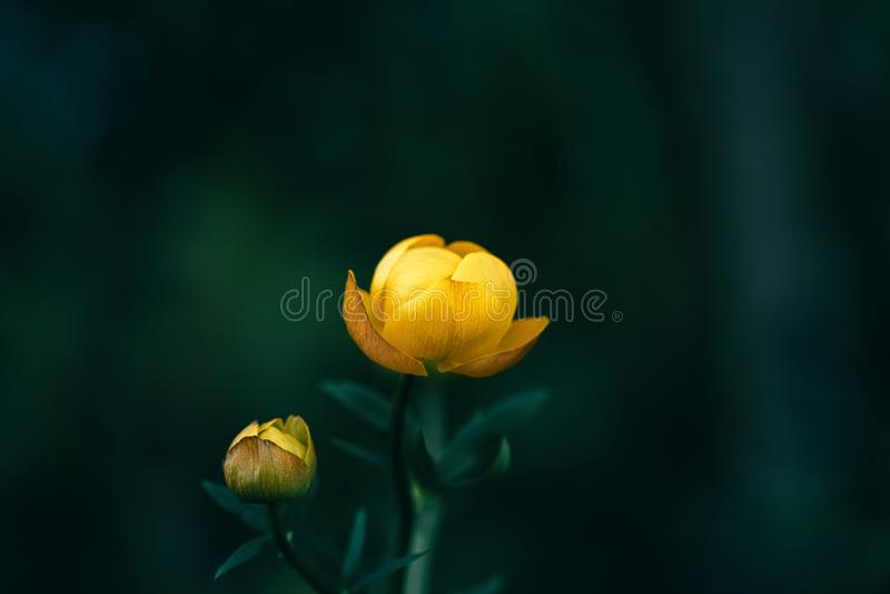 Piękny żółty globeflower, trollius europaeus, trollflower na ciemnozielonym tle Jaskrawy kolor żółty jest rzadkim kwiatem ochrani obrazy royalty free