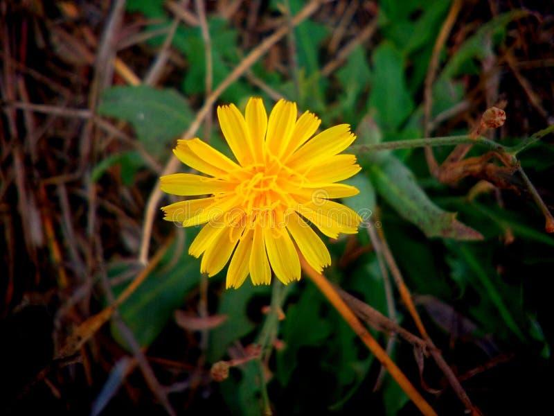 Piękny żółty koloru kwiat fotografia stock