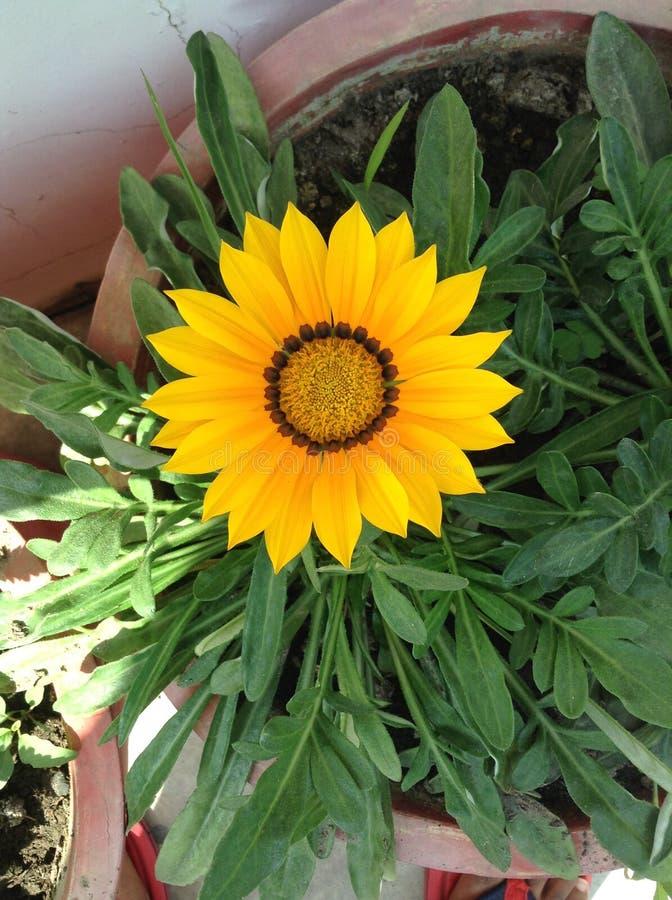Piękny żółty koloru kwiat zdjęcie stock