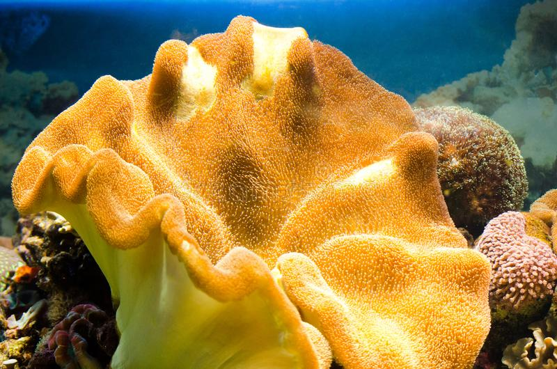 Piękny żółty koral w wielkim akwarium zdjęcie royalty free