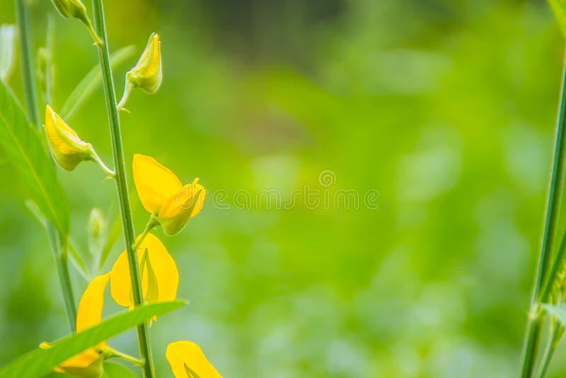 Piękny żółty kwiat Crotalaria juncea, znać jako brown konopie, Indiański konopie, Madras konopie lub sunn konopie, Crotalaria jun zdjęcie stock