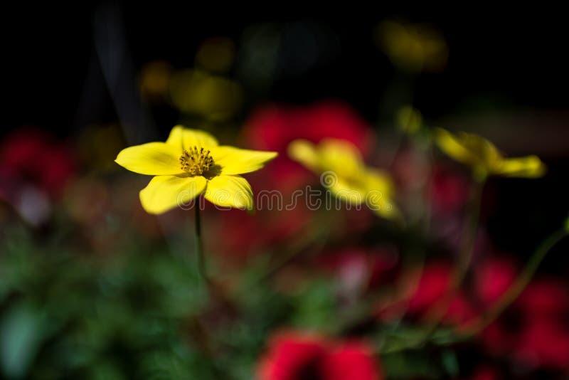 Piękny żółty kwiat na zamazanym tle obrazy stock