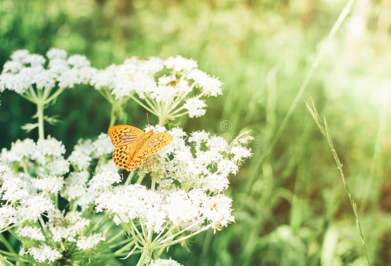 Piękny żółty lasowy motyli obsiadanie na kwitnąć białego krwawnika, lato zieloną trawy i światła słonecznego, Jedno?? z natury po zdjęcia royalty free
