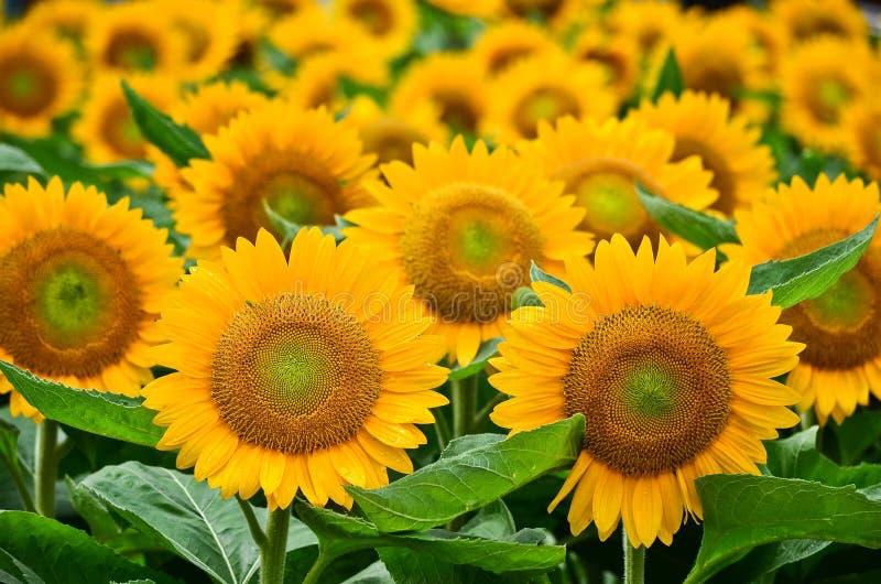 Piękny żółty słonecznikowy zbliżenie obrazy stock
