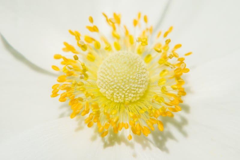 Piękny żółty sedno, pistil i stamens, obraz royalty free