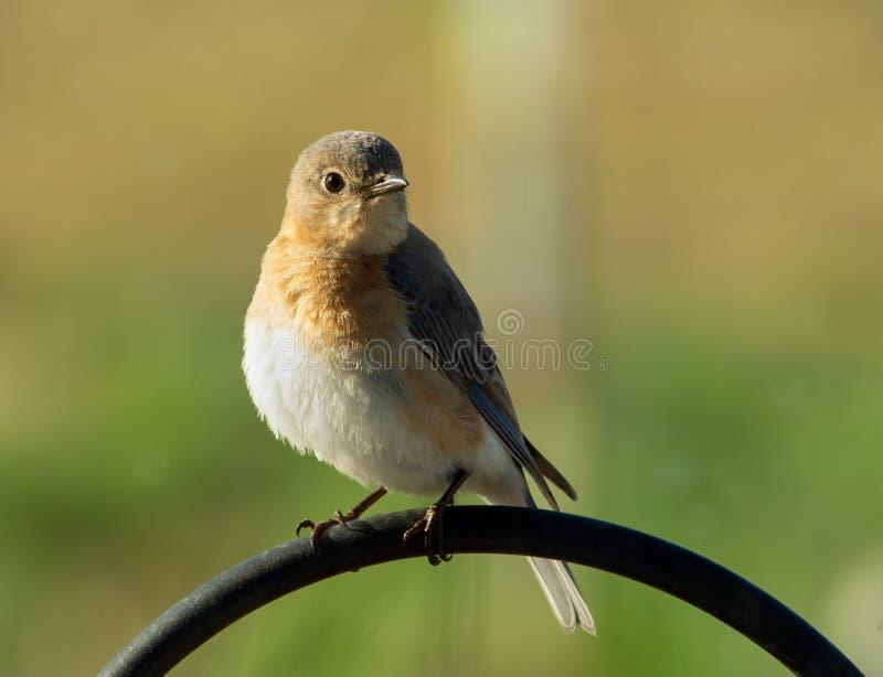 Piękny żeński Wschodni Bluebird obsiadanie na bacy haczyku obrazy stock