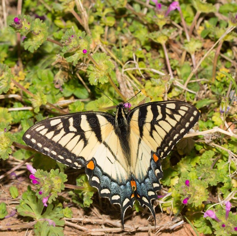 Piękny żeński wschodni Tygrysi Swallowtail motyl zdjęcia royalty free