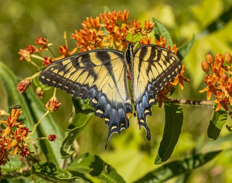 Piękny żeński wschodni tygrysi swallowtail obraz royalty free
