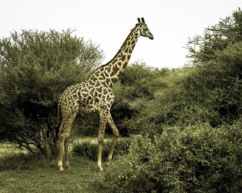 Piękny żyrafy karmienie na akacjowym drzewie. zdjęcia royalty free