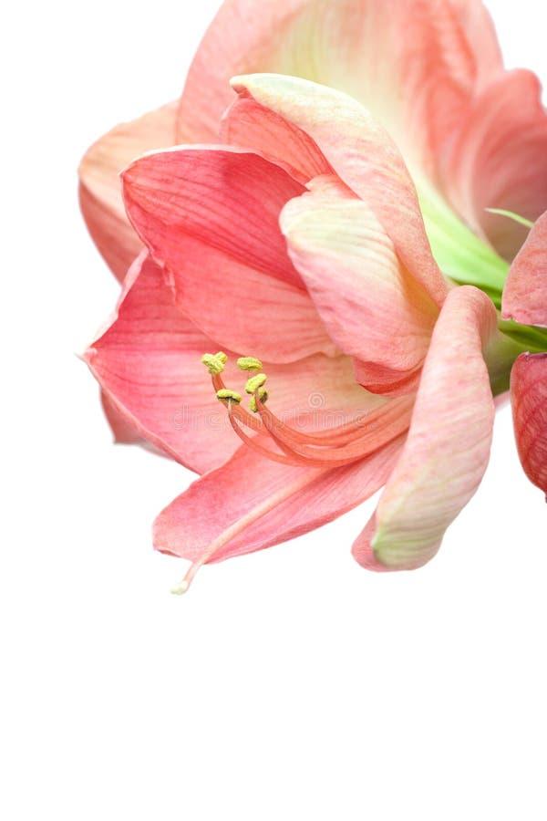 Piękny amarylek kwitnie na bielu zdjęcie royalty free