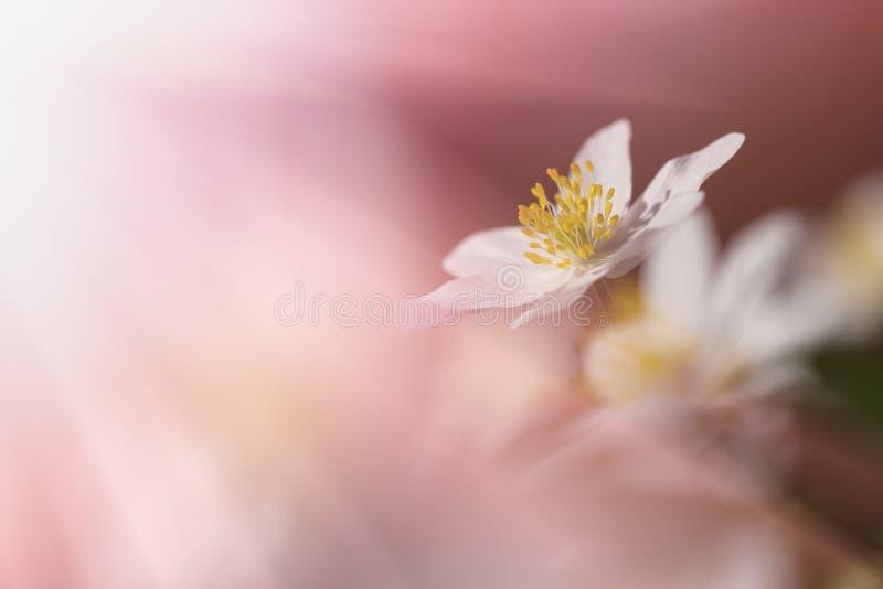 Piękny anemon kwitnie na delikatnym tle Selekcyjna miękka ostrość zdjęcie royalty free
