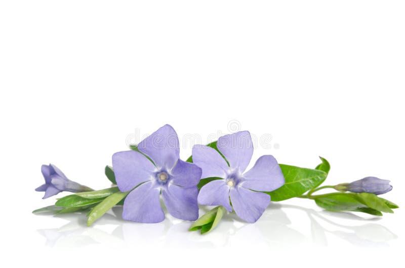 Piękny błękit kwitnie barwinka fotografia stock