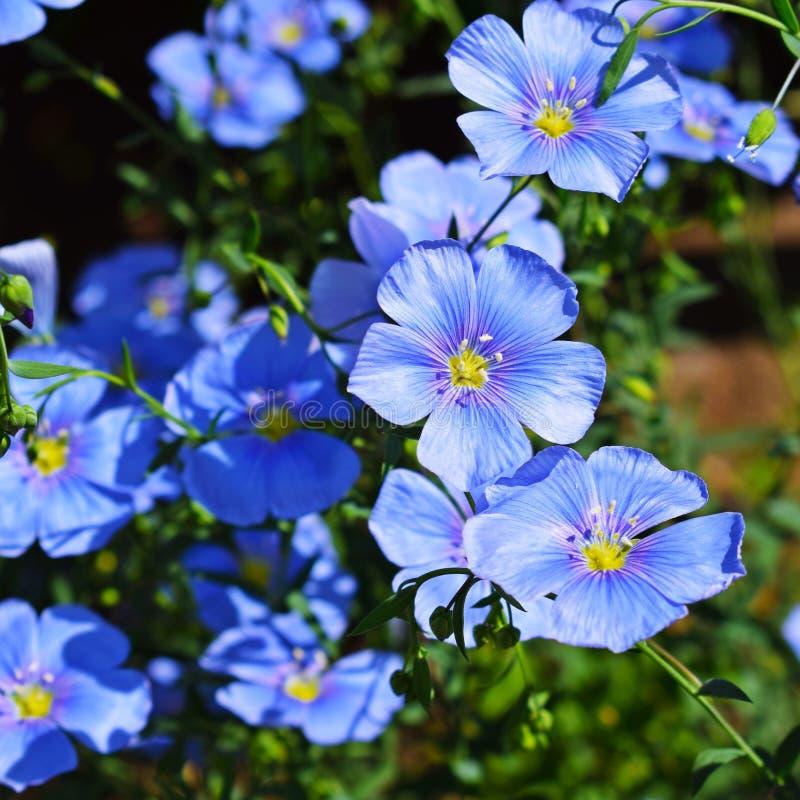 Piękny błękit kwitnie na kwiatu łóżku zdjęcie stock