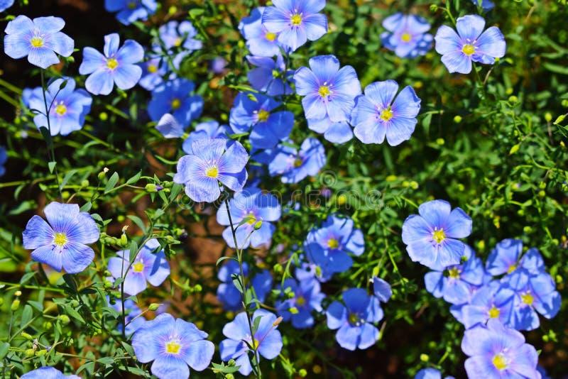 Piękny błękit kwitnie na kwiatu łóżku fotografia stock