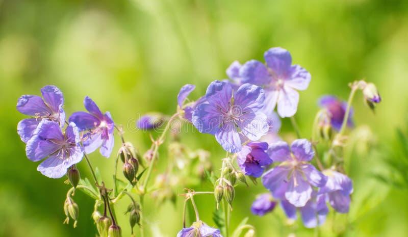Piękny błękit Kwitnie na Zielonej trawy tle zdjęcie royalty free