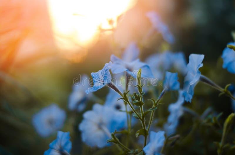 Piękny błękit kwitnie petuni, zadziwiająca tapeta Natura obrazy stock