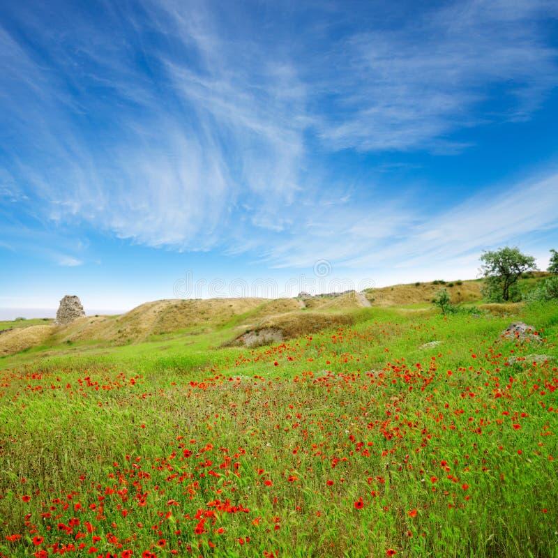 piękny błękit pola maczków niebo obraz royalty free
