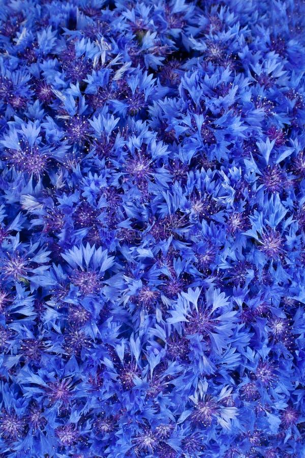 piękny błękitny cornflower kwitnie wiosna obrazy stock