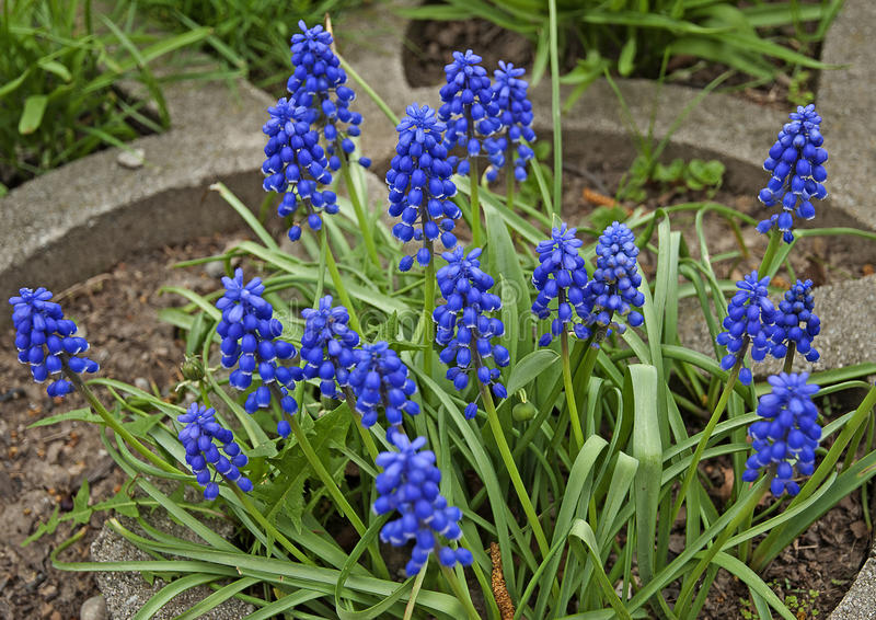 Piękny błękitny gronowy hiacynt zdjęcia stock