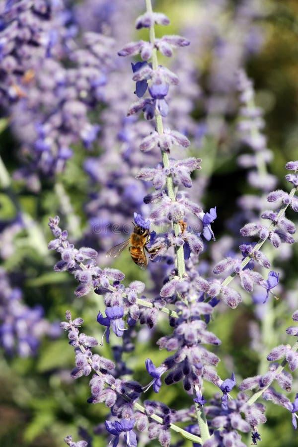 Piękny błękitny kwiat jak ludzie i pszczoły obrazy stock