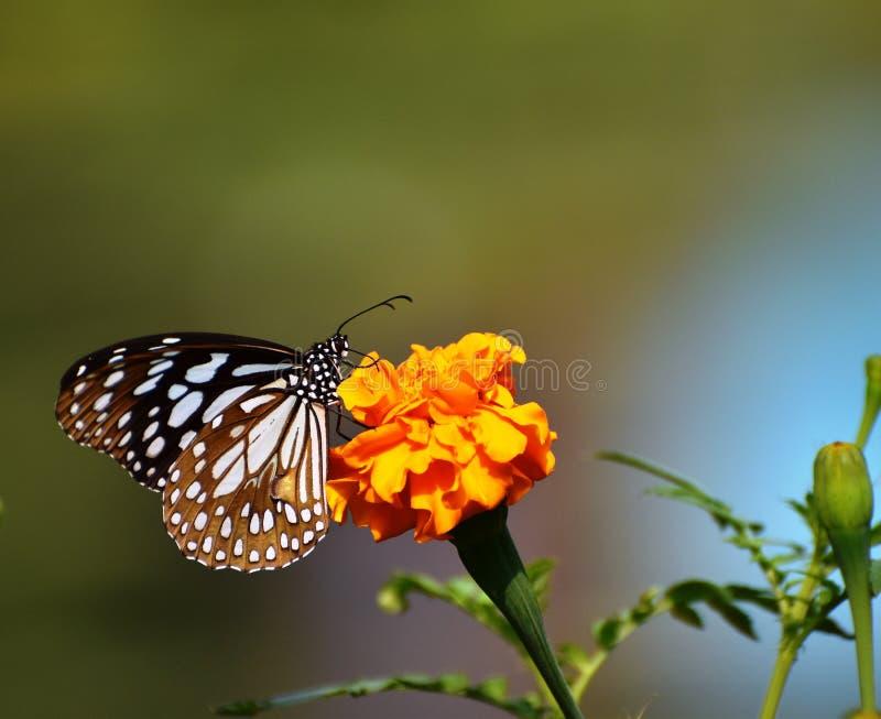 Piękny błękitny motyl na żółtym kwiacie obraz stock