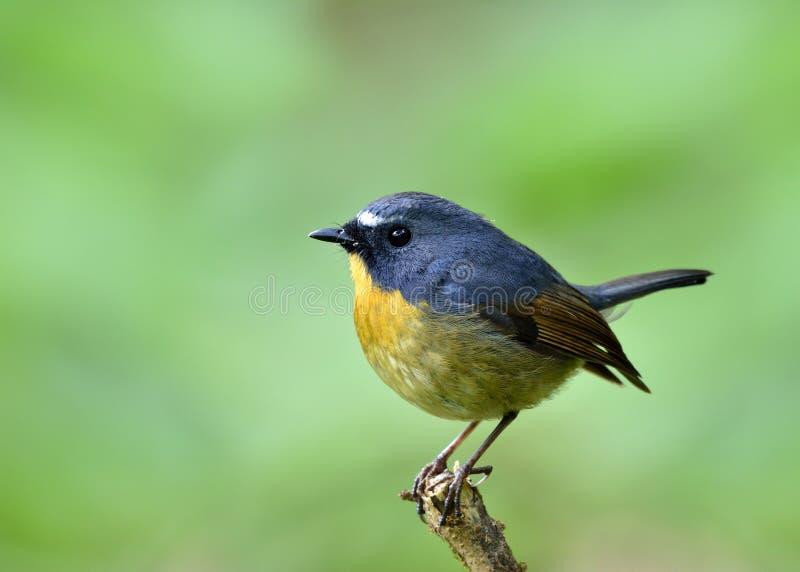 Piękny błękitny ptak z żółtą klatką piersiową i białymi brwiami umieszcza o obrazy royalty free