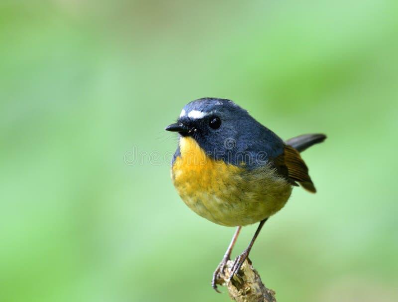 Piękny błękitny ptak z żółtą klatką piersiową i białymi brwiami umieszcza o fotografia stock
