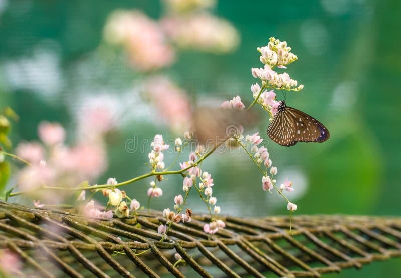 Piękny Błękitny Szklisty Tygrysi motyl w ogródzie zdjęcia stock