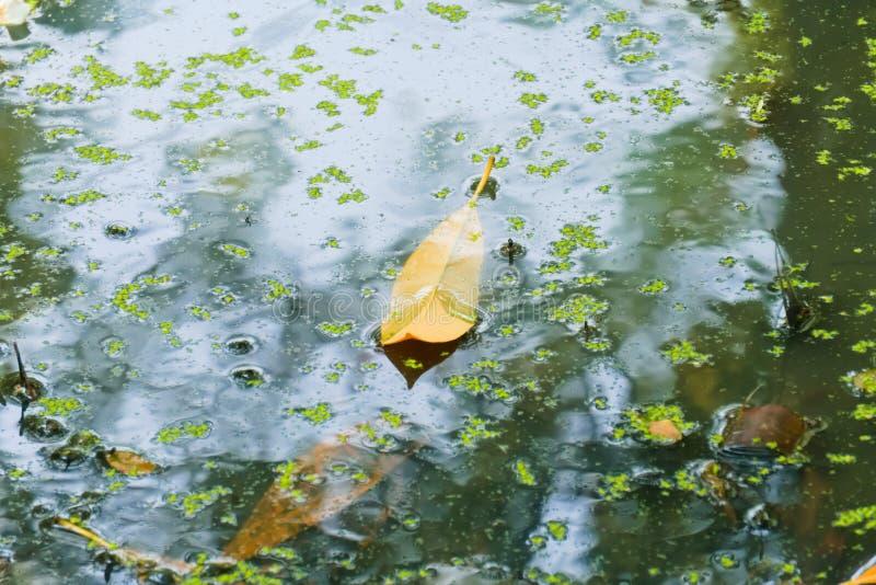 Piękny, bagienny widok żółty liść, ostatnio spadać w algi wypełniał, nieba odbijający bagno zdjęcie stock