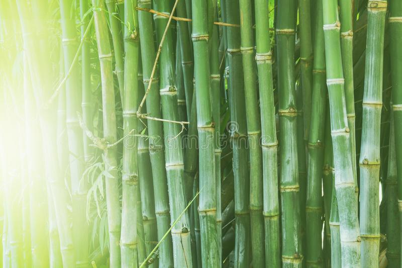 Piękny bambusowy las, zielony natury tło fotografia royalty free