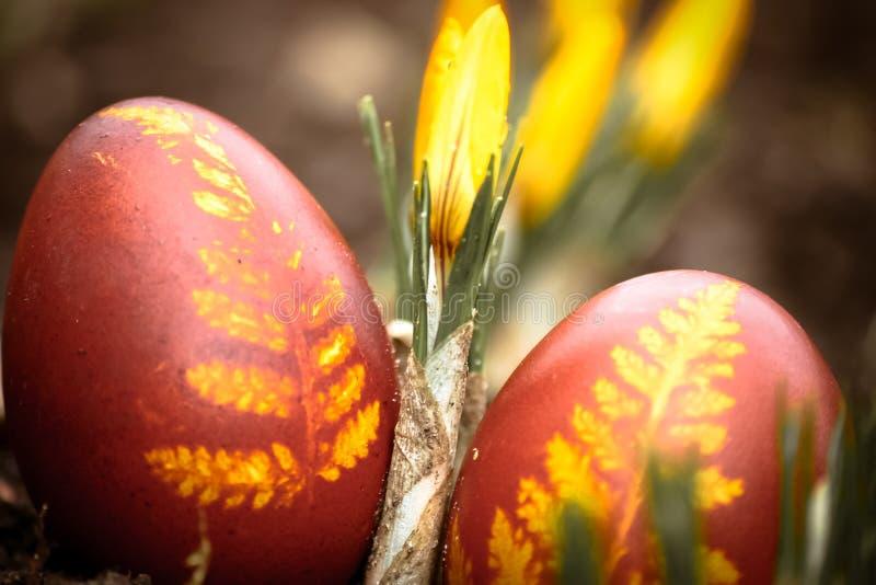 Piękny, barwiony czerwony Wielkanocny jajko w podwórku, Tradycyjny wiosny jedzenie, festiwal i fotografia stock