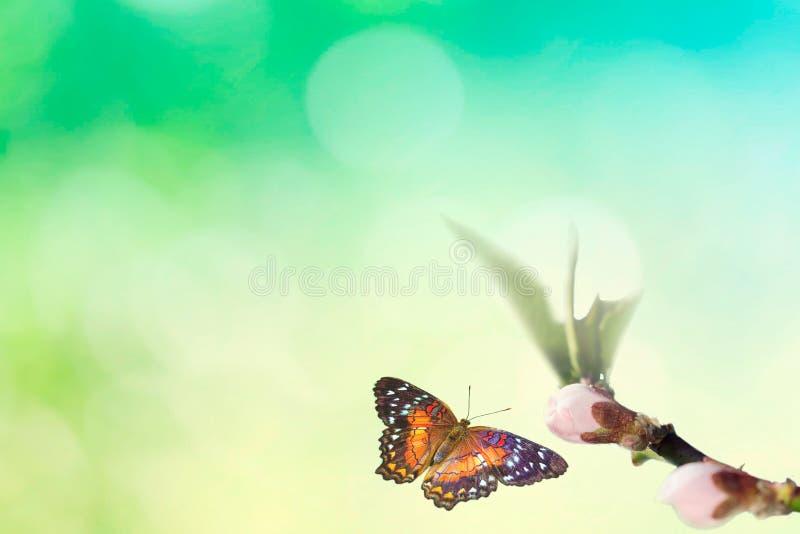 Piękny barwiony motyl w locie i gałąź kwiatonośny drzewo w wiośnie przy wschód słońca na tle makro- bławym i zielonym zdjęcie royalty free