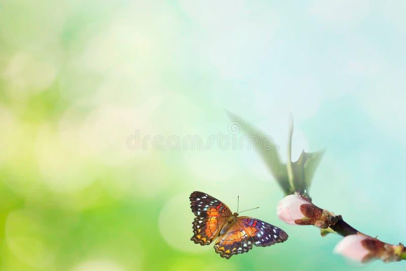 Piękny barwiony motyl w locie i gałąź kwiatonośny drzewo w wiośnie przy wschód słońca na tle makro- bławym i zielonym fotografia stock