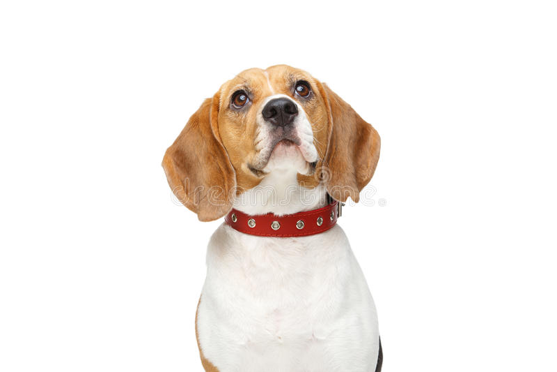 Piękny beagle pies odizolowywający na bielu obraz stock