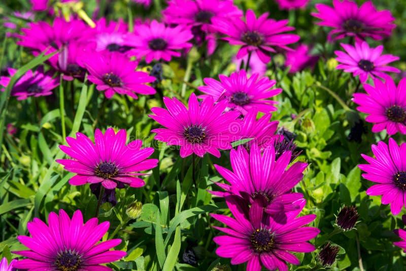 Piękny bez kwitnie jak stokrotka Osteospermum Eklon Osteospermum ecklonis na tle zieleni li?cie Zako?czenie obrazy royalty free